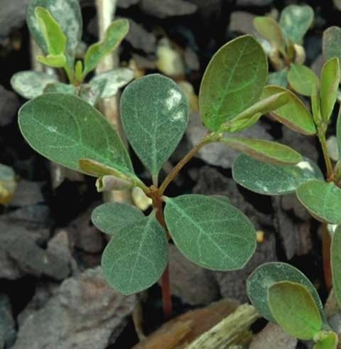 Phyllanthus tenellus