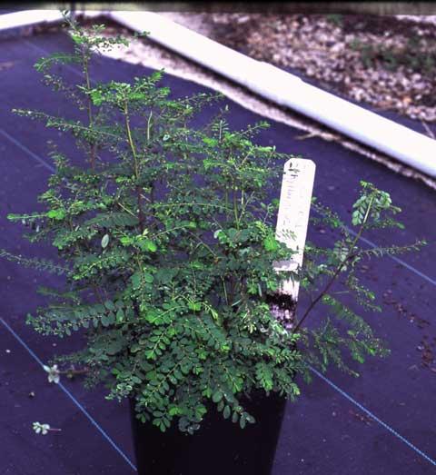 Phyllanthus tenellus habit