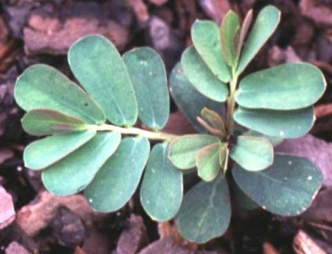 Phyllanthus urinaria seedling