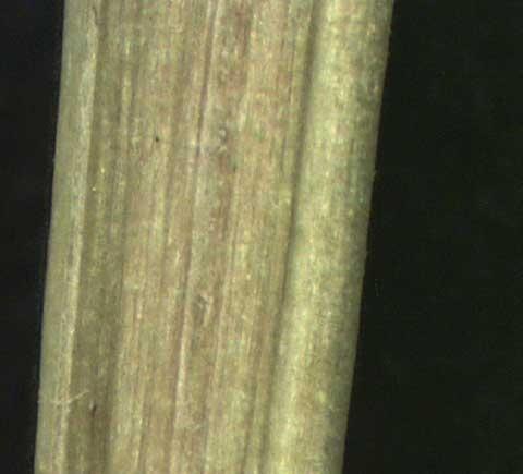 Phyllanthus urinaria L.
