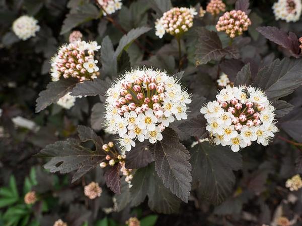 'Diablo' flower