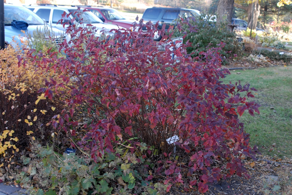 Fall shrub form