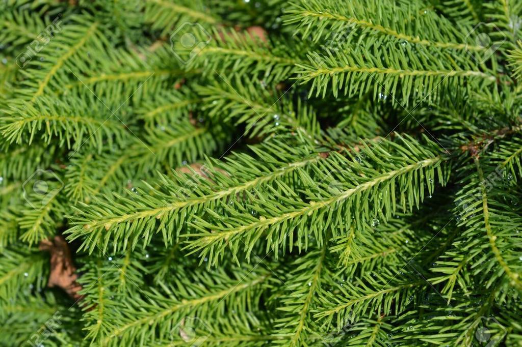 "Picea abies ""Nidiformis'"