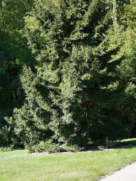 Picea orientalis 'Nana'