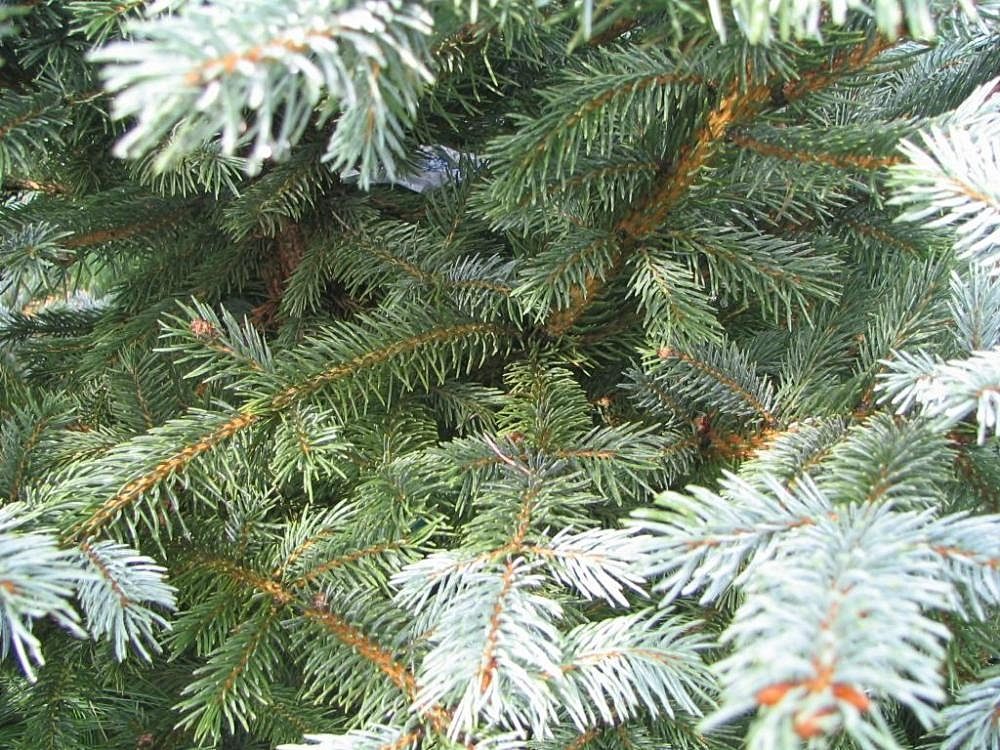 "Picea Pungens ""Fat Albert"""