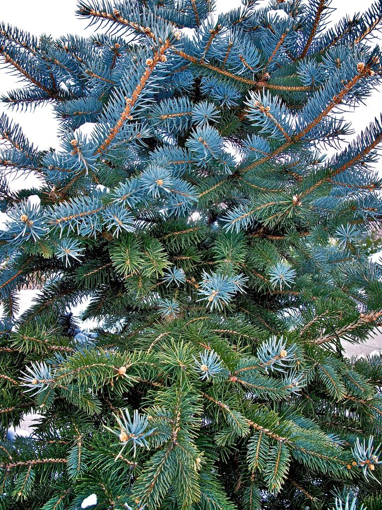 Picea pungens 'Mission Blue'