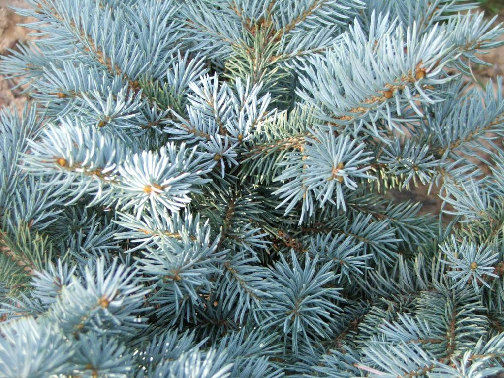 Foliage of 'Glauca globosa'