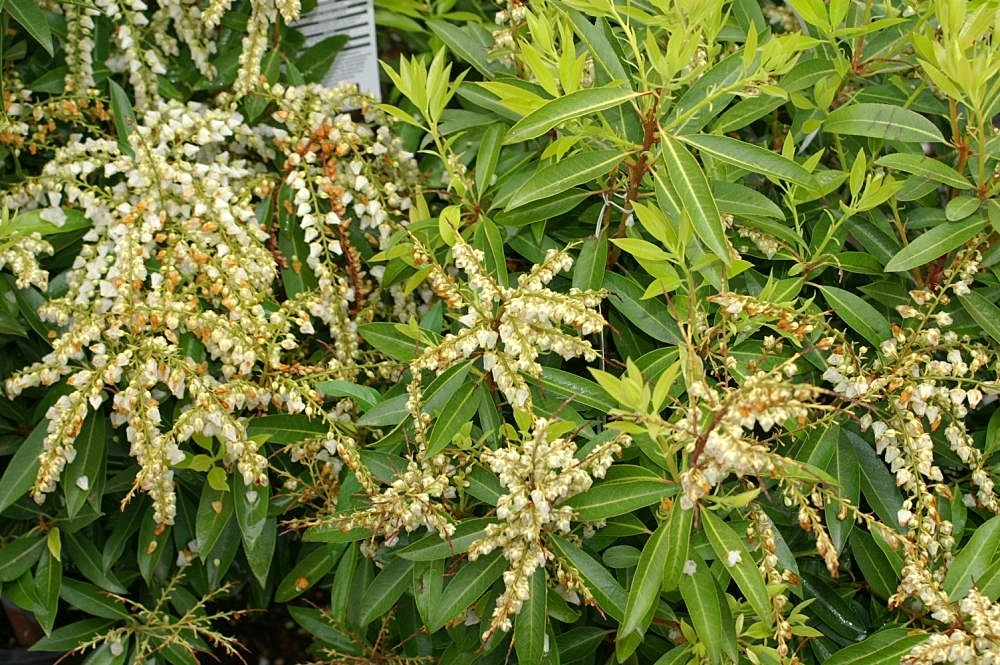Pieris X Brouwer S Beauty Brouwer S Beauty Pieris Lily Of The Valley Shrub North Carolina Extension Gardener Plant Toolbox