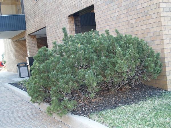 Pinus mugo 'Mops'
