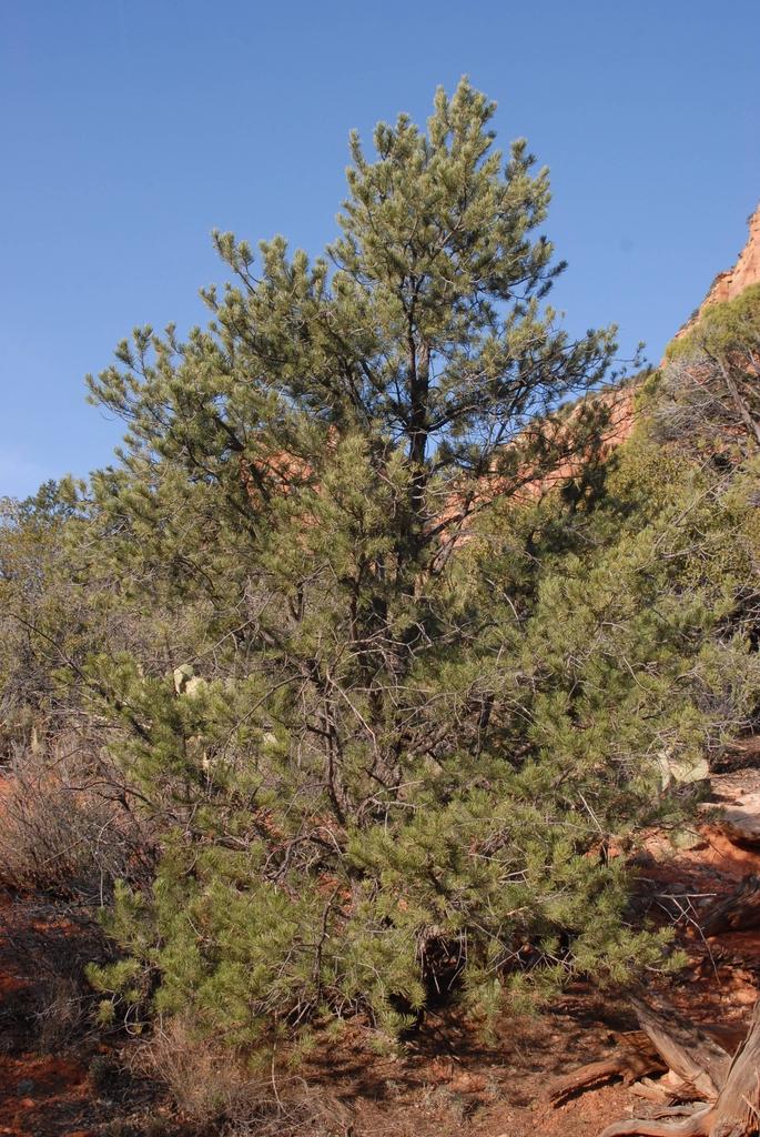 Pinus edulis