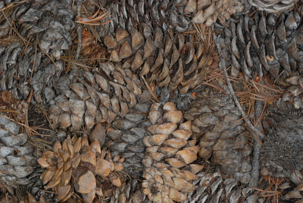 Mature seed cones (Larimer County, CO)-Early Fall