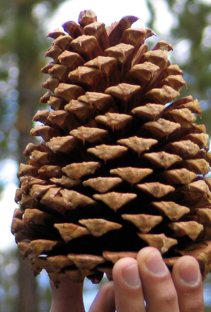 Cone closeup