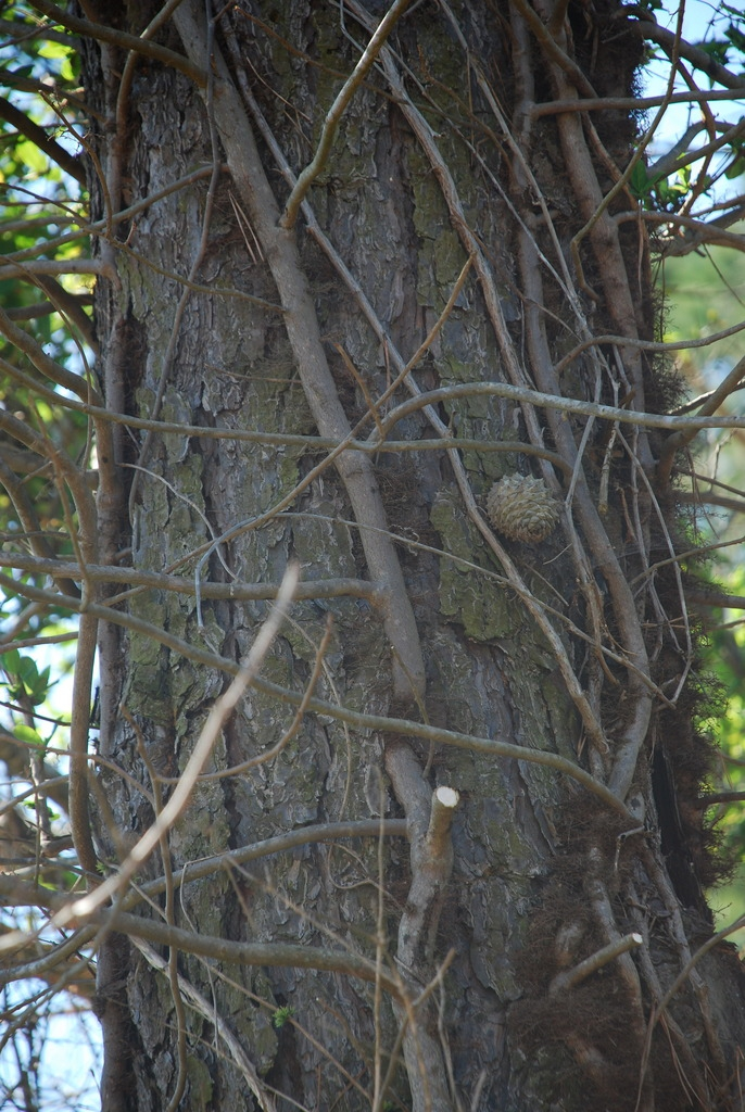 Dark brown bark (Randolph County, NC)-Early Spring