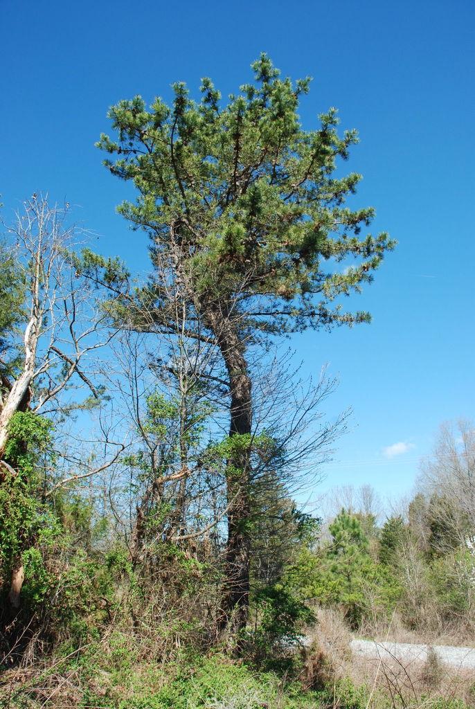 Tree form (Randolph County, NC)-Early Spring