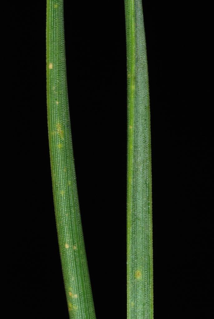 Needles close-up (Randolph County, NC)-Early Spring