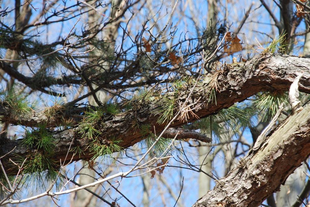 Needles growing from bark (Seneca County, NY)-Late Winter