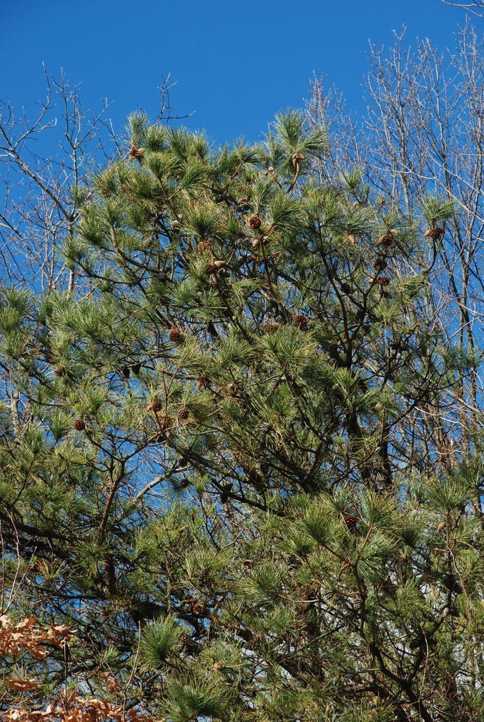 Branches with cones (Seneca County, NY)-Late Winter