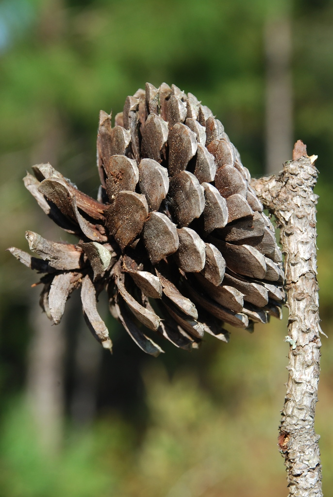 Mature seed cone (Colleton County, SC)-Mid Fall