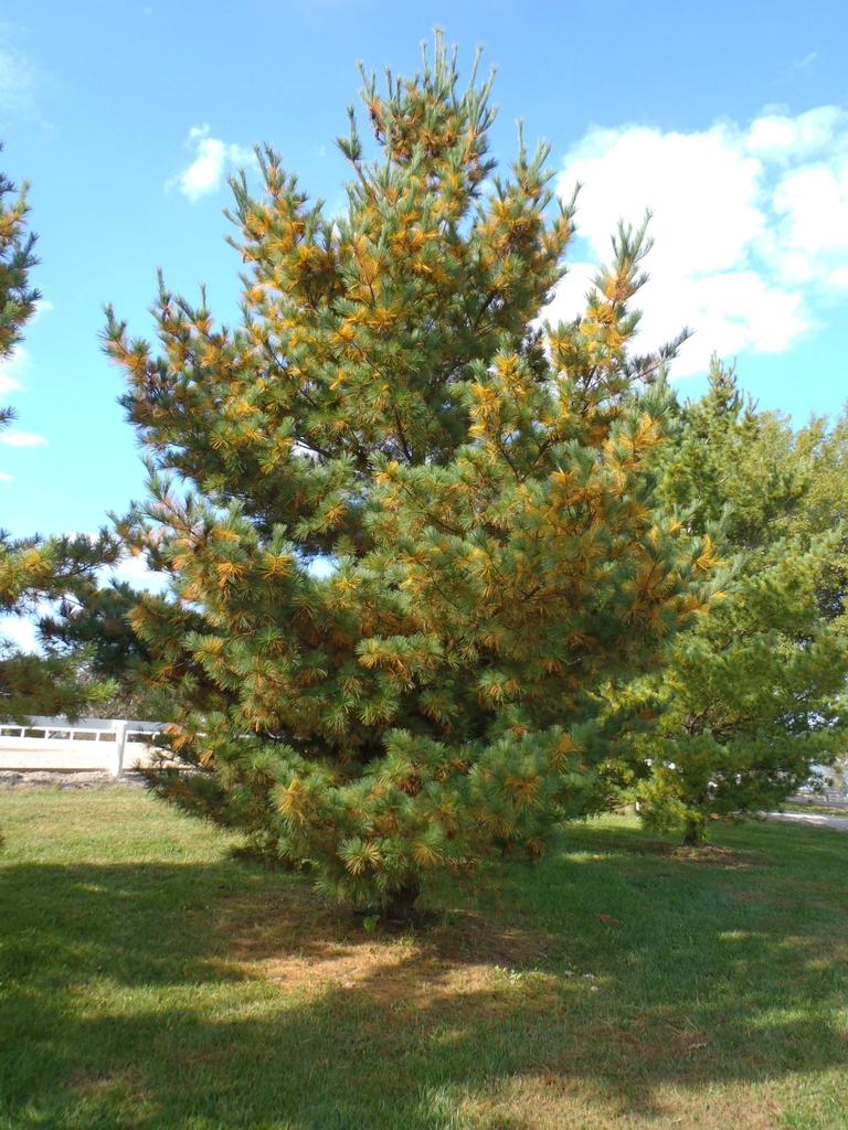 Pinus strobus Form