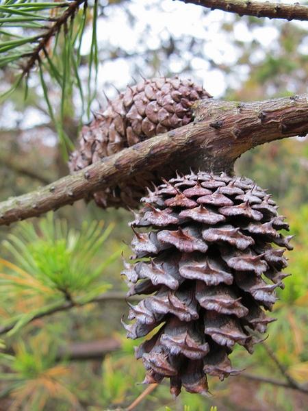 Pinus virginiana