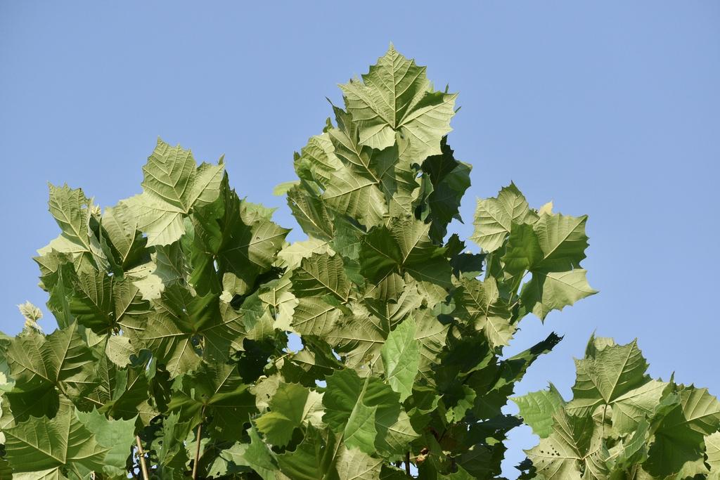Back of leaves - July - Warren Co., NC