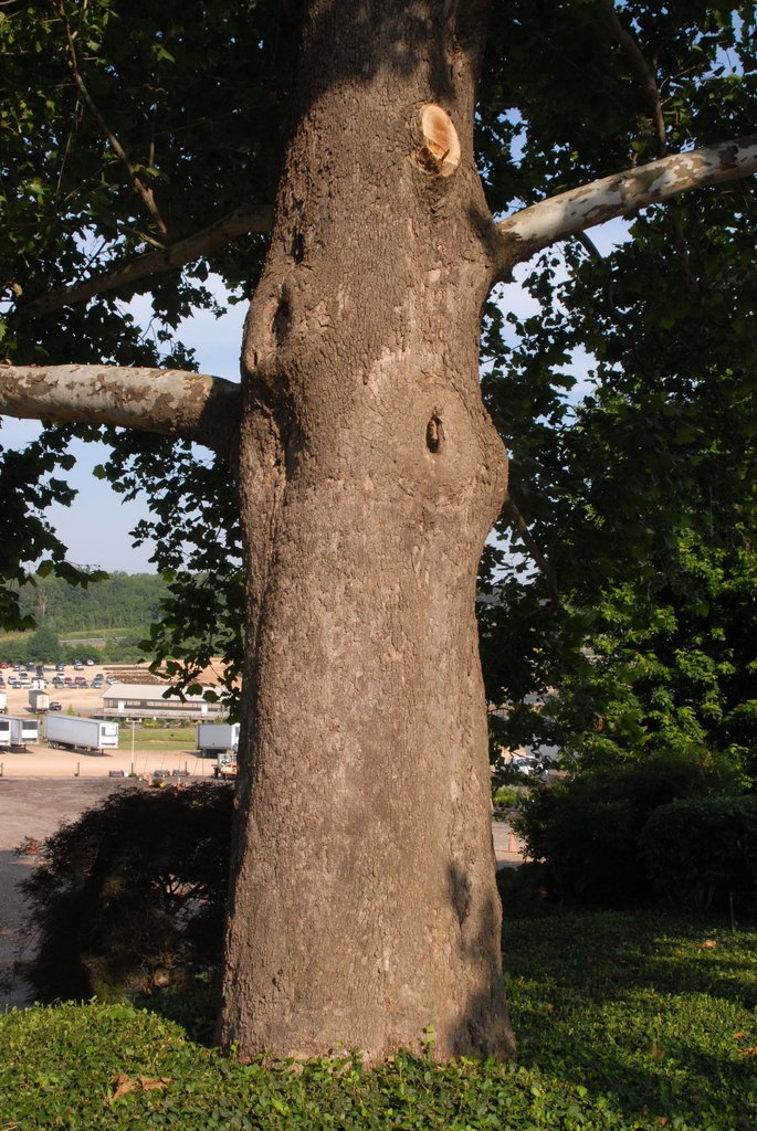 Platanus occidentalis Bark