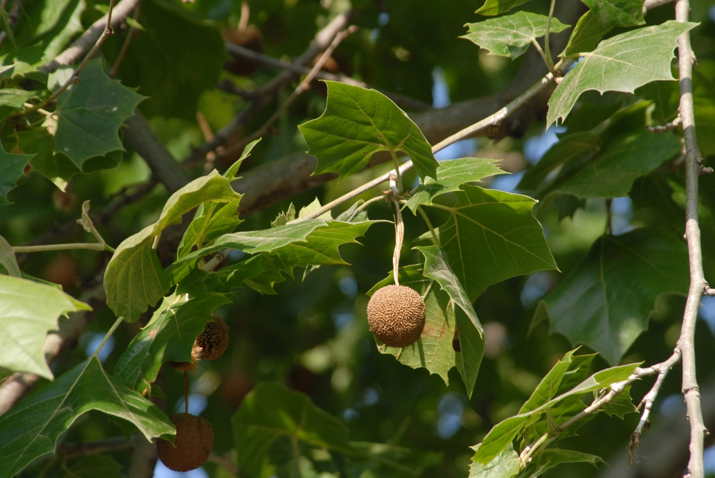 Platanus occidentalis Fruit and Leaves