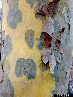 Platanus occidentalis, American Sycamore bark