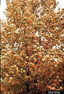 Platanus occidentalis, American Sycamore fall color