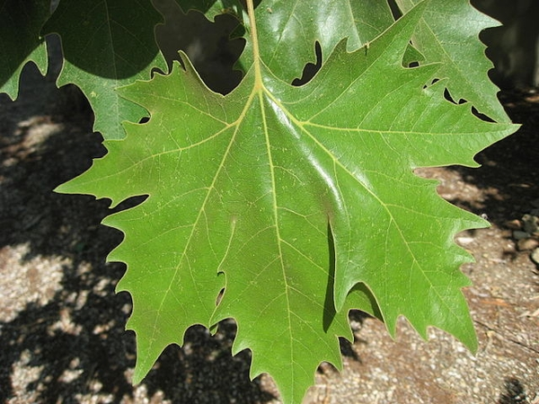 Platanus x acerfolia