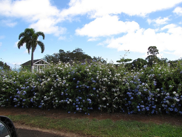 Example of use as shrubs