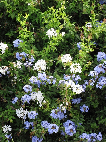 White and blue varieties