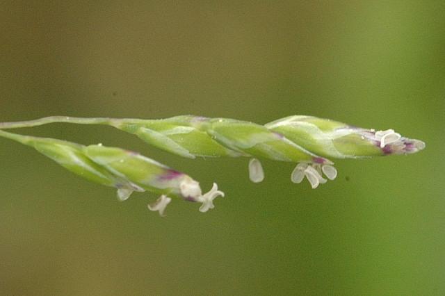 Poa annua flower