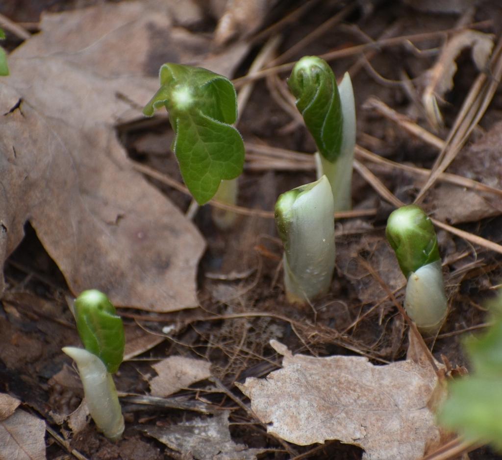Emerging Early Spring Warren County NC