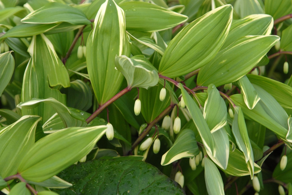 Polygonatum commutatum 'Variegatum' Leaf and Flower