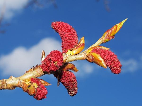 Populus nigra