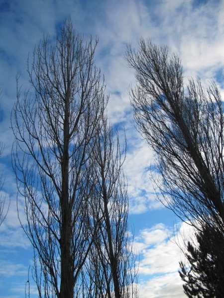 Populus nigra 'Italica'