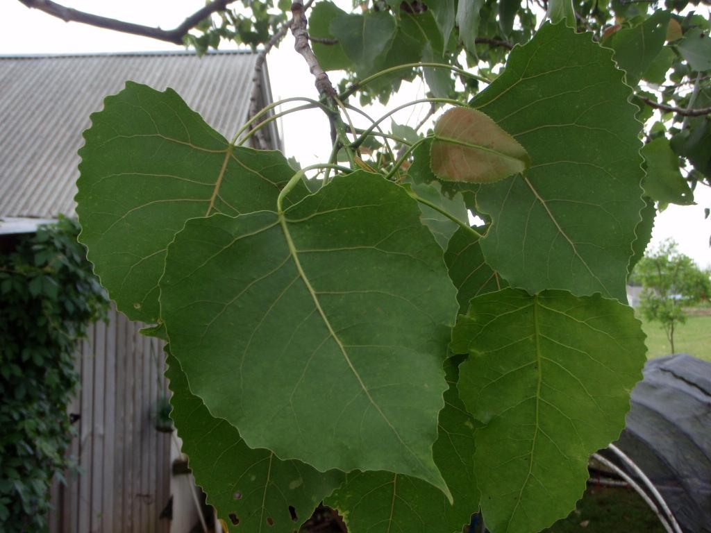 Populus deltoides