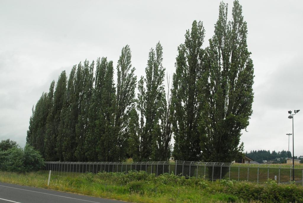 Populus nigra 'Italica' Form
