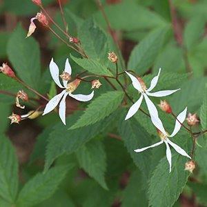 Porteranthus trifoliatus