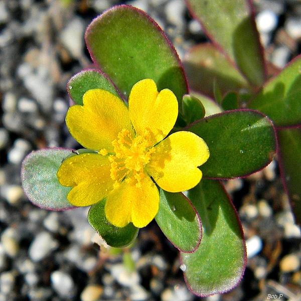 Portulacaceae  oleracea