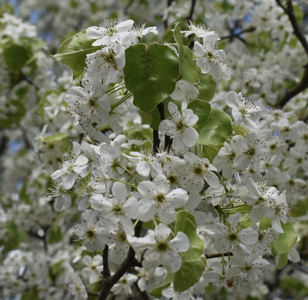 Leaves & flowers in late March - Warren Co. - NC