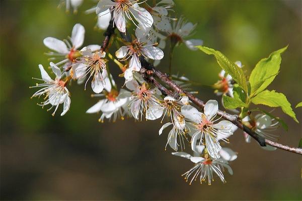 Prunus americana