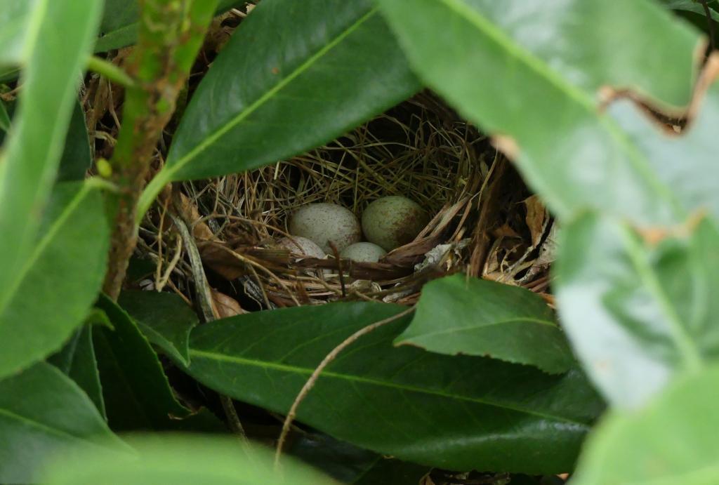 Provide cover for birds like this Eastern towhee nest.