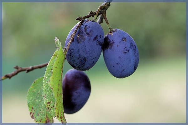 Prunus domestica subsp. insititia 'Shropshire Prune'