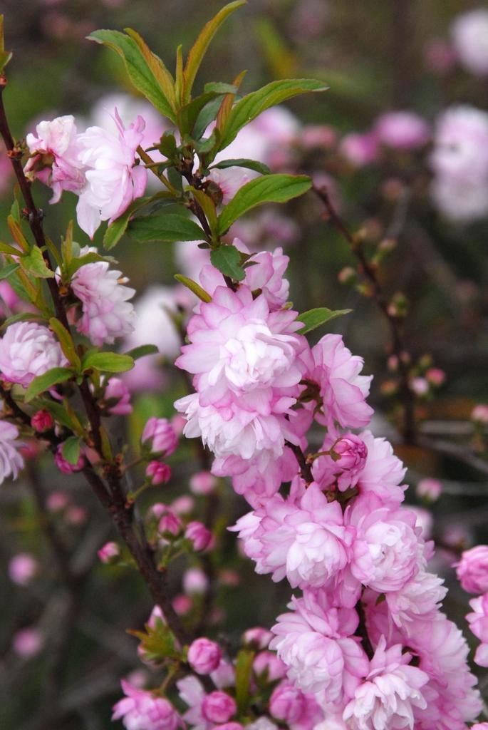 Prunus glandulosa Plena fl1 031312 WashAR