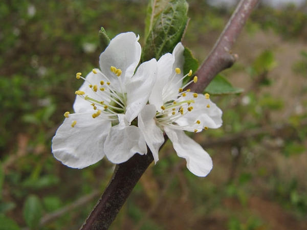 Prunus salicina 'Methley'