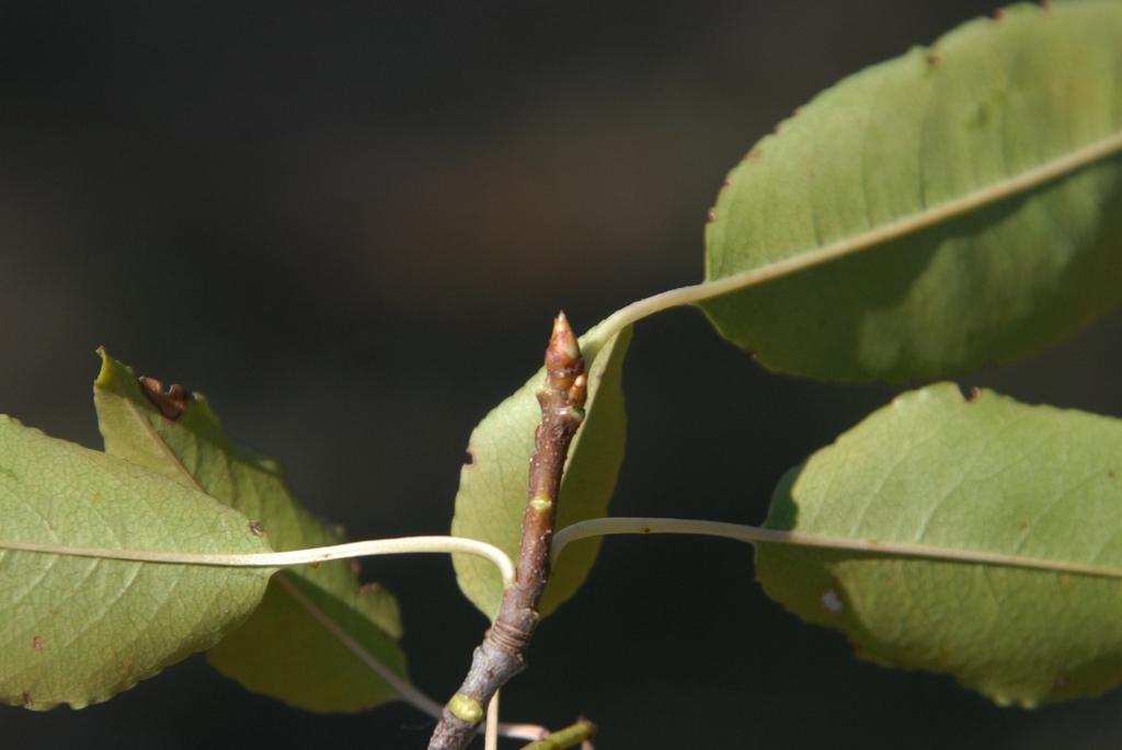 Prunus serotina Bud