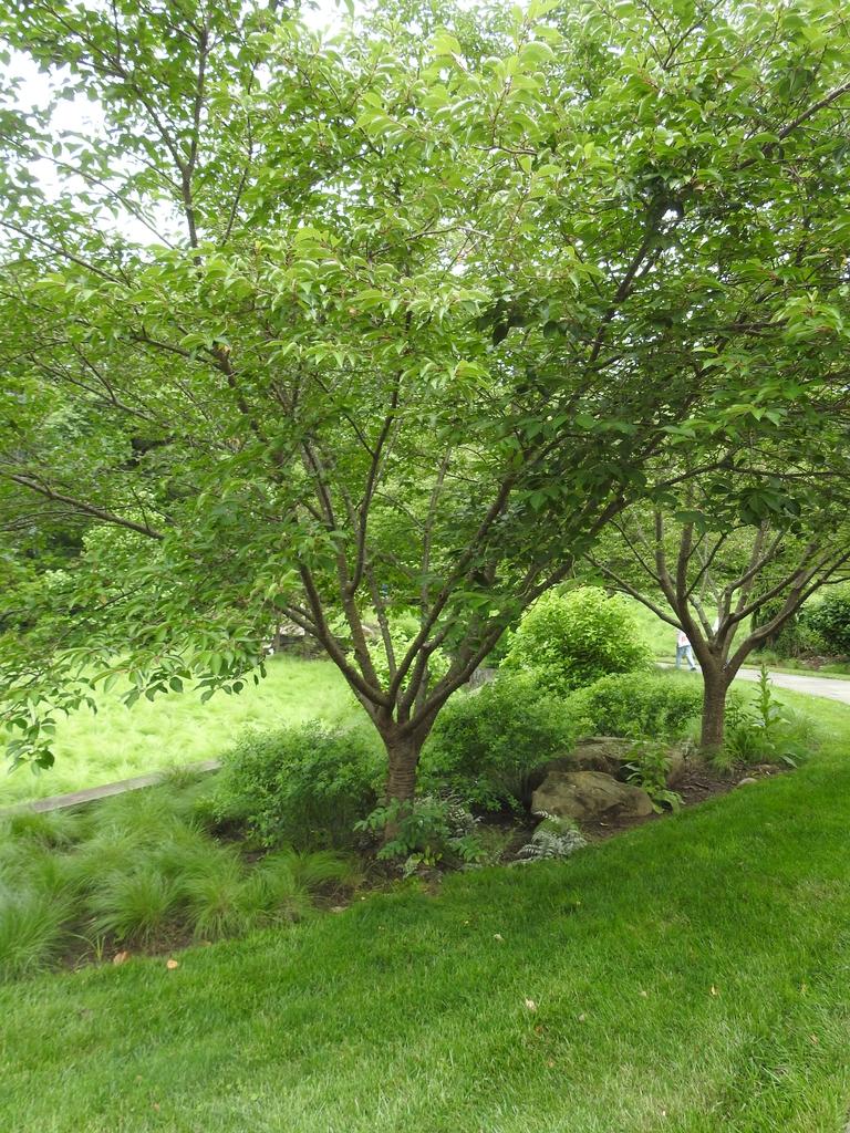 Prunus serotina form