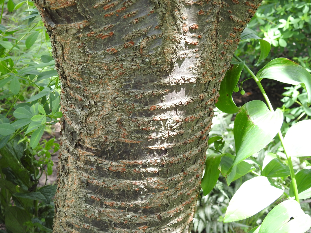 Prunus serotina lenticles shiny bark